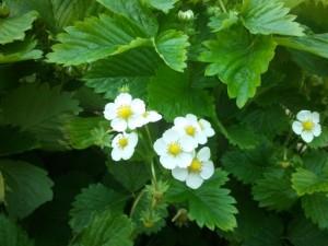 fragoline in fiore