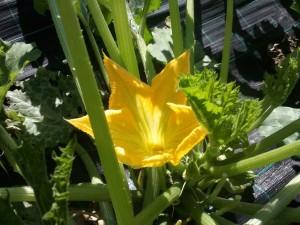 fiori zucchino