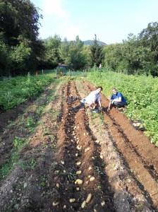raccolta patate