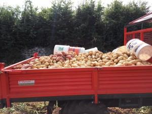 carico patate